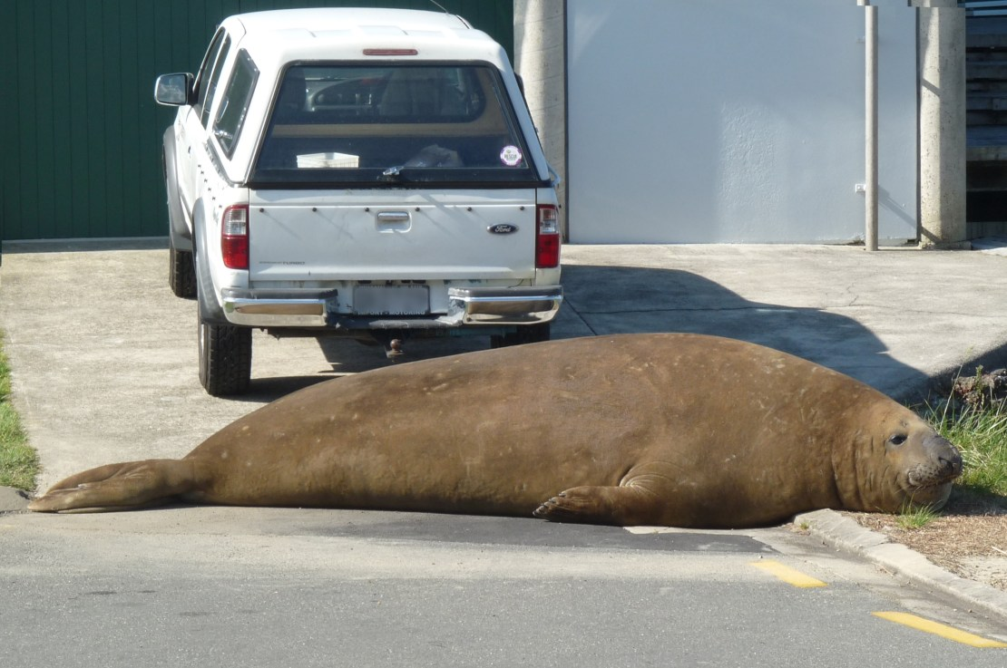 A male southern elephant seal lying on a drive in front of a car