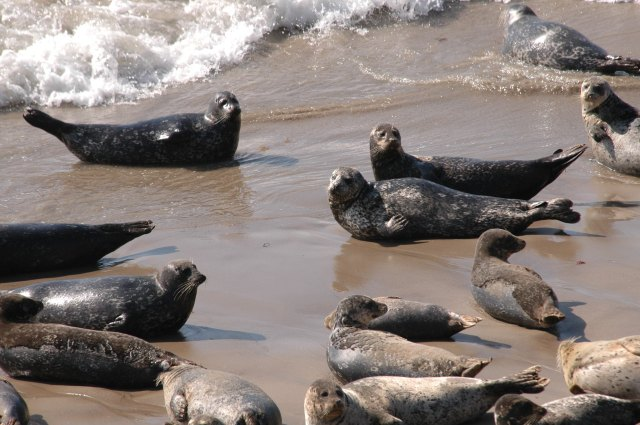 Large group of seals lying at the water's edge.