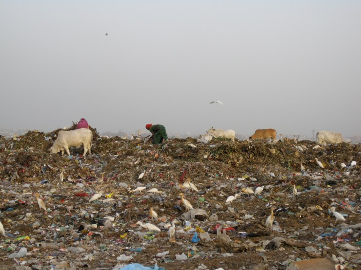 A woman picks plastic among cows at a landfill