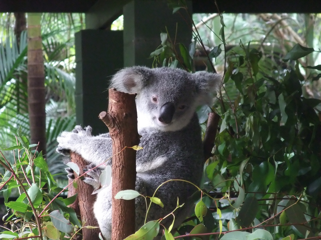 How Many Visitors Can A Koala Bear Not Many It Seems
