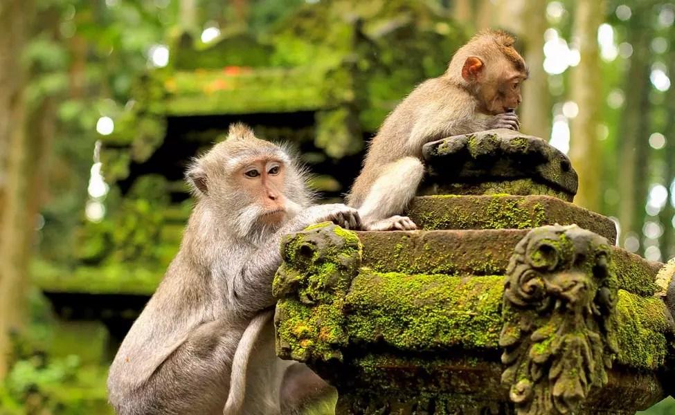 Monkey Forest - kdbalitours.com