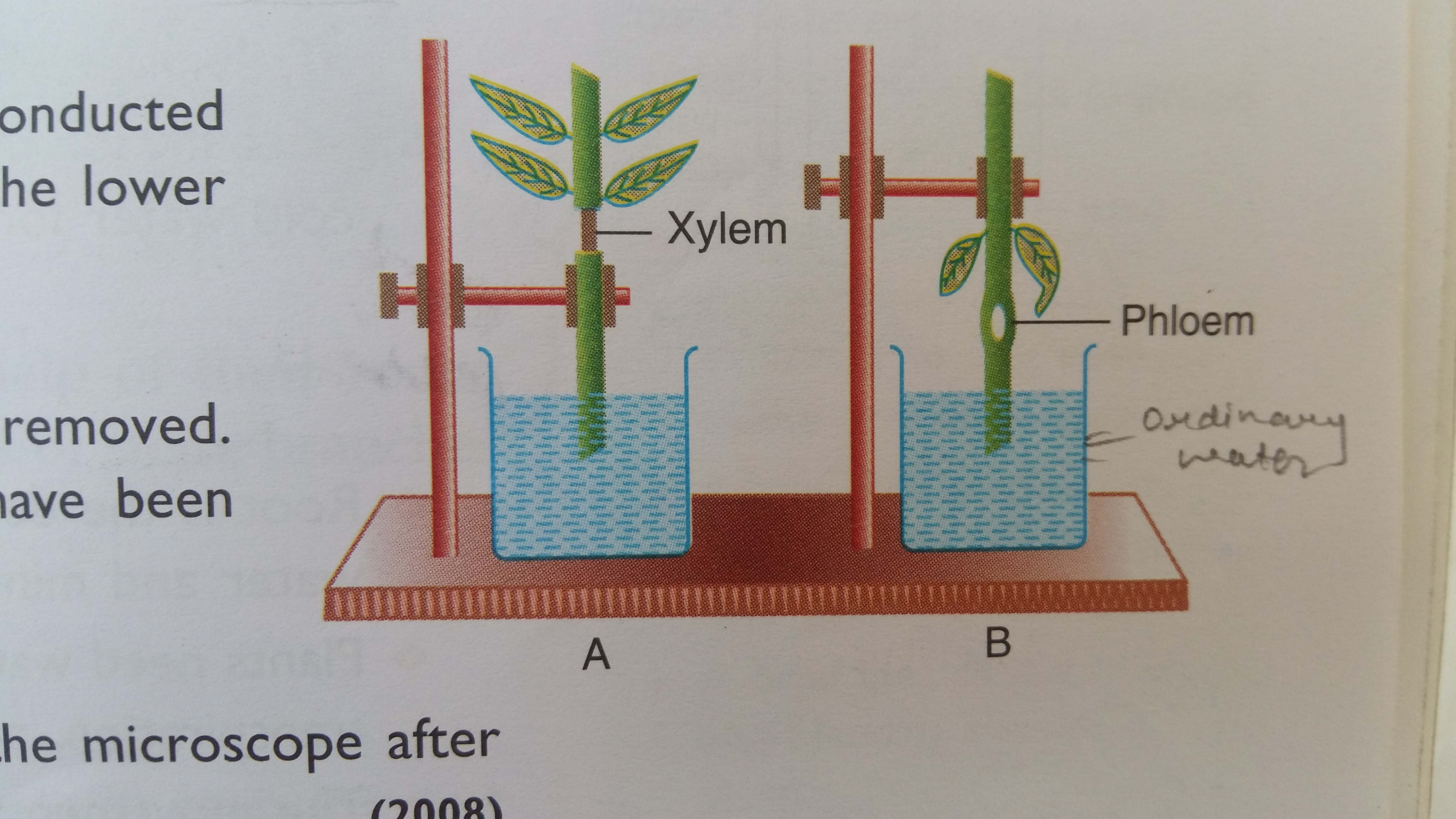 In A Diagram Of Root Hair How To Differentiate Bw Xylem And Phloem Dicot And Monocot Seeds