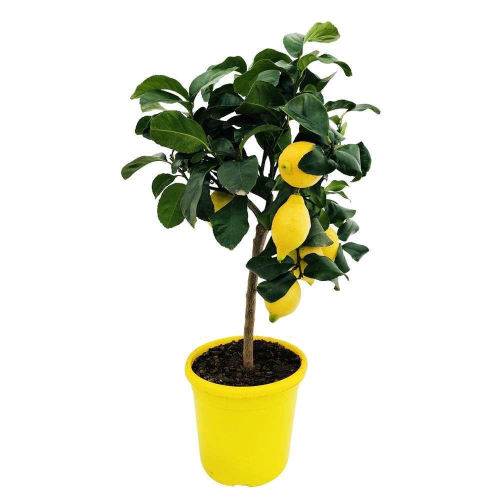 citronnier 4 saisons pot 5l 1 4 tige