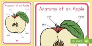 Anatomy of an Apple Display Poster  apple, apple diagram