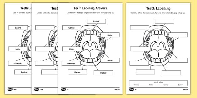 Teeth Labeling Worksheet