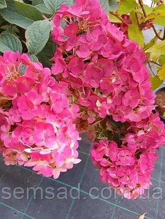 Гортензия метельчатая Долли Hydrangea paniculata 'Dolly ...