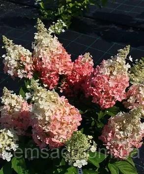 Гортензия метельчатая Бэби Лэйс  Hydrangea paniculata ...