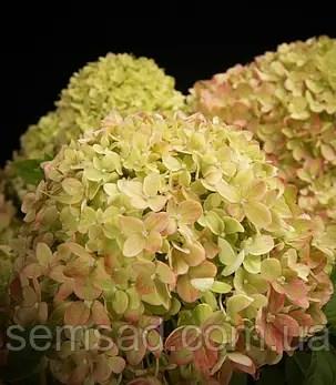 Гортензия метельчатая Коттон Крим  Hydrangea paniculata ...