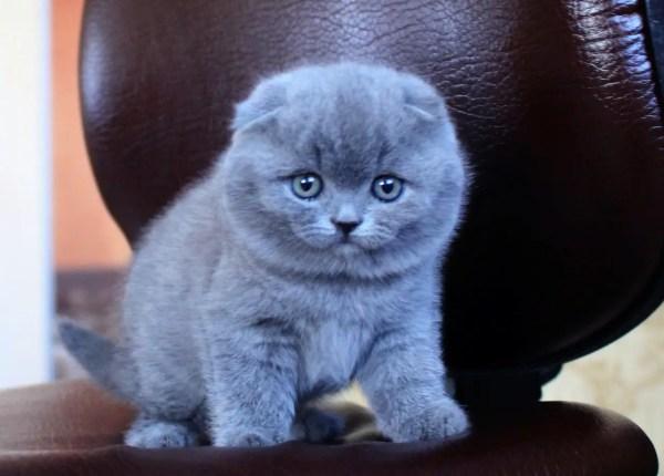 Голубые Британские Котята Фото Вислоухие