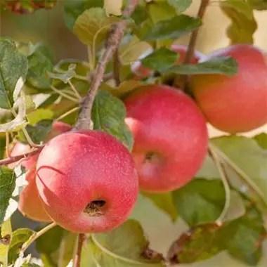 Сорт яблок Пинк Леди: продажа, цена в Днепропетровской ...