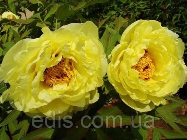 Пион ИТО Yellow Crown Йеллоу Краун корневище в пакете