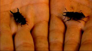Hands holding two black beetles