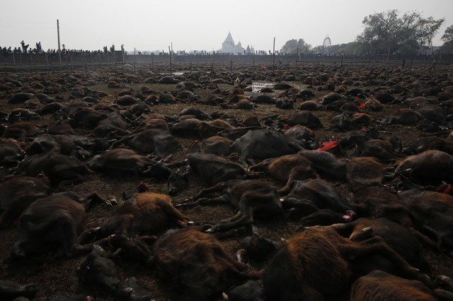 「Gadhimai」的圖片搜尋結果