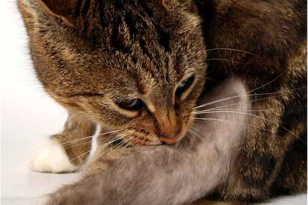 Cat Scratch Fever in Cats - Symptoms, Causes, Diagnosis ...