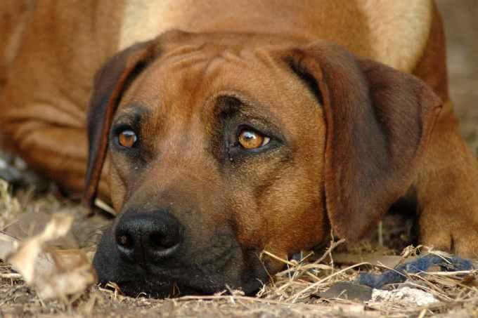 Ofloxacin Eye Drops Dosage For Dogs