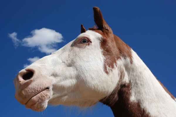 Guttural Pouch Tympany in Horses Symptoms Causes