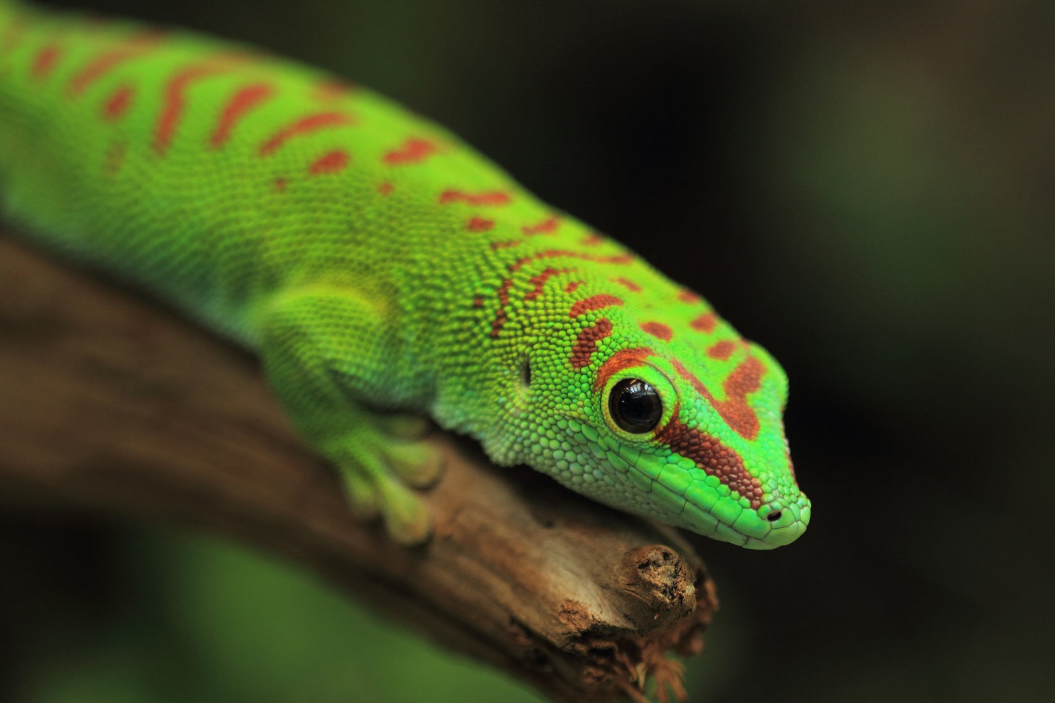 Infectious Stomatitis In Reptiles Symptoms Causes