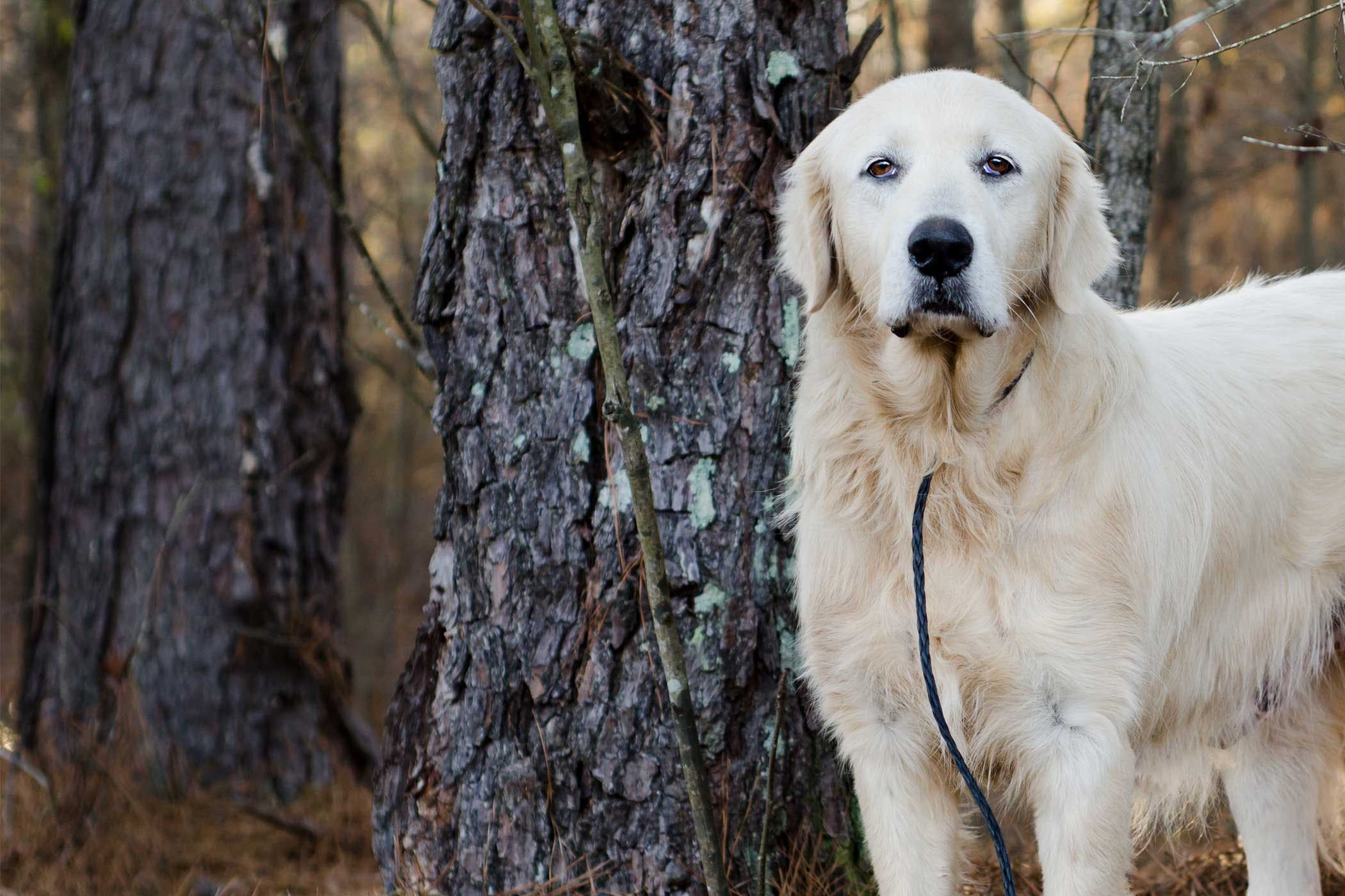 How To Leash Train A Great Pyrenees