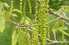 florais para combater stress: Oak