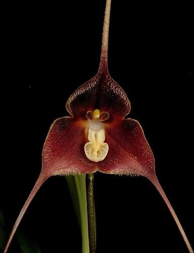 https://i1.wp.com/images.wikia.com/orchids/en/images/e/ed/Dracula_brangeri.jpg