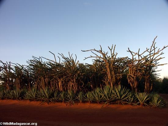 Spiny vegetação de floresta ao pôr do sol (Berenty)