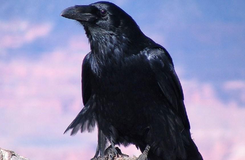 (foto: foto: autore Aaron CC BY 2.0 via Wikipedia. Corvo imperiale, nome tecnico Corvus corax, un esemplare trovato a Chernobyl nella Zona di esclusione