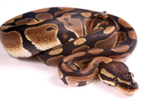 What is a Python Snake? (with pictures)