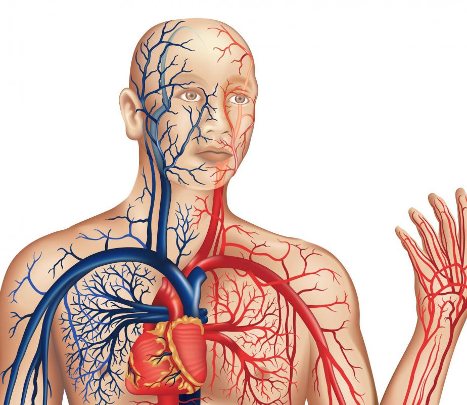 Relationship Between Digestive And Circulatory System
