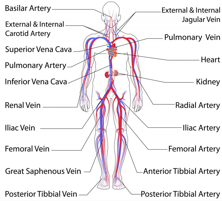 Image result for map of arteries and veins in the body