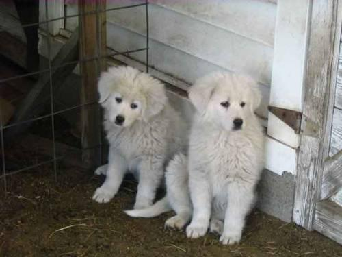 Black And White Great Dane Full Grown