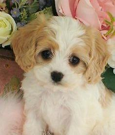Adorable Non Shedding Cavachon Puppies 9 Wks For Sale In