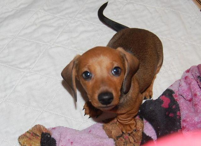 AKC Mini Dachshund Puppy Smooth Red Male For Sale In