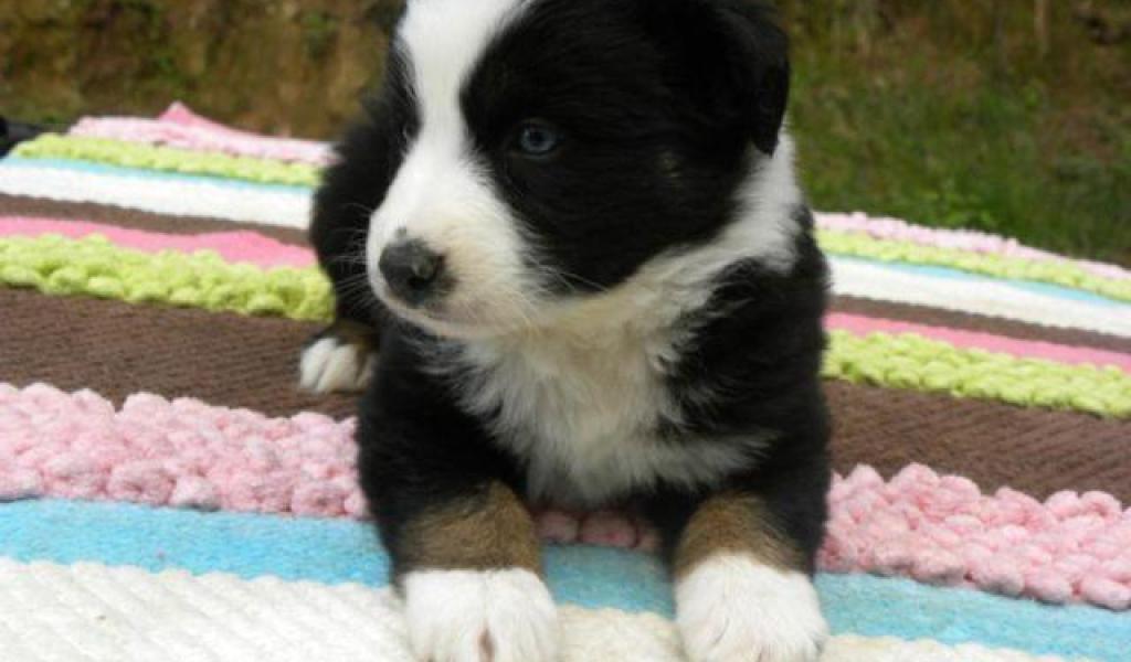 Australian Shepherd Puppies Nc - Photos of Animals