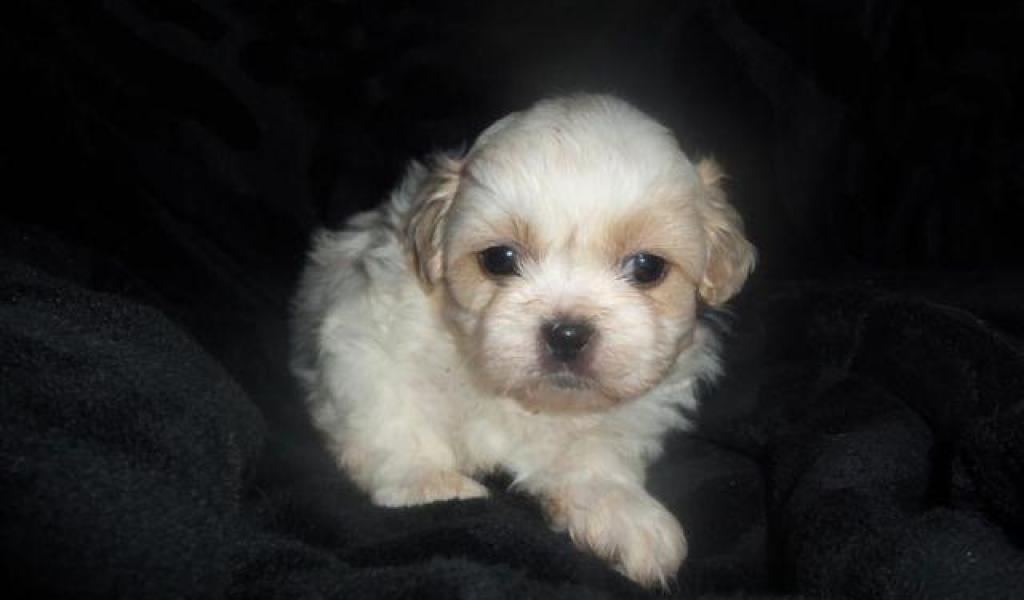 Ckc Shih Tzu Puppies - Photos of Animals