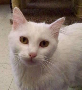 domestic long hair white snow white small adult female for sale in minot north dakota