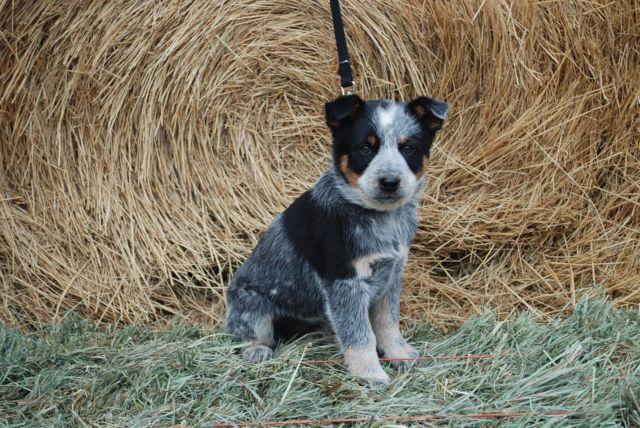 Blue Heeler Puppies Colorado