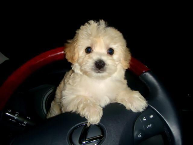 Cream And White Toy Maltipoo