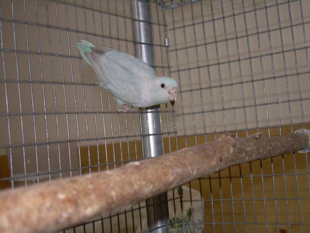 Parrotlets Breeding Pairs