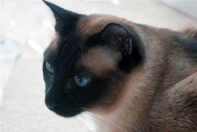 Seal Point Siamese Snowshoe