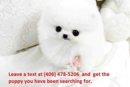 Imágenes De White Teacup Pomeranian For Sale In Dallas Tx