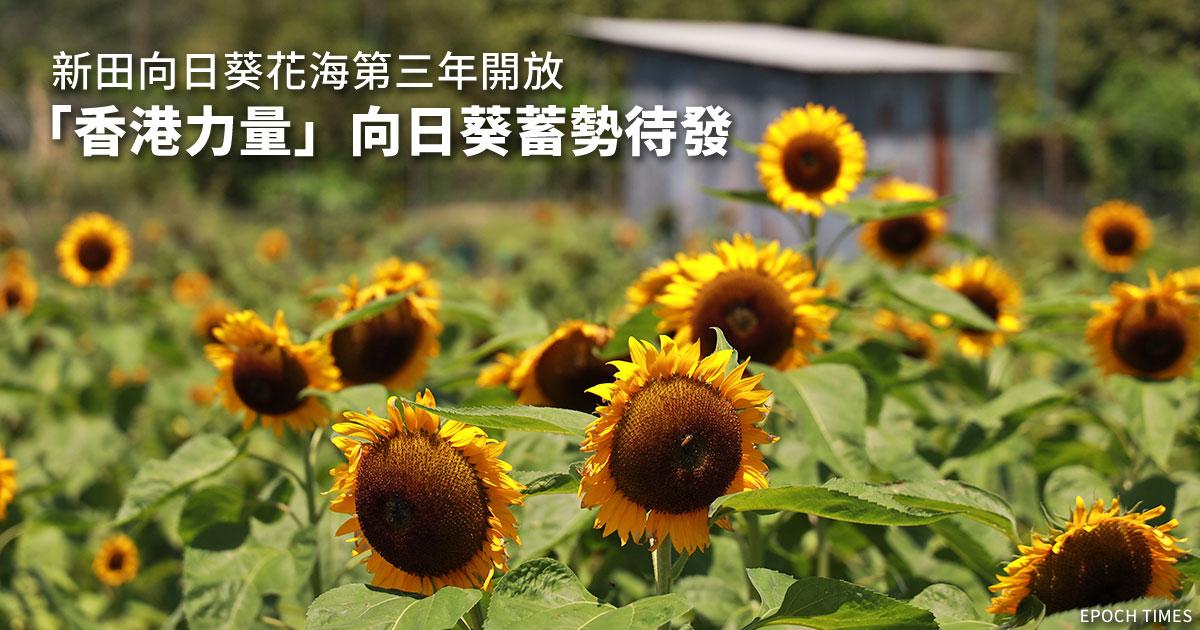 新田向日葵花海第三年開放 「香港力量」向日葵蓄勢待發|大紀元時報 香港|獨立敢言的良心媒體