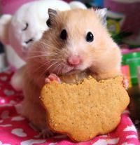 CUTE-hamsters-1140511_450_466.jpg