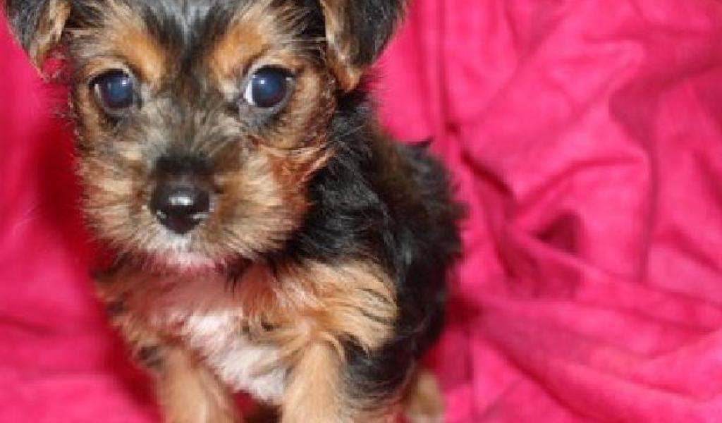 Yorkie Puppies Chicago - Photos of Animals