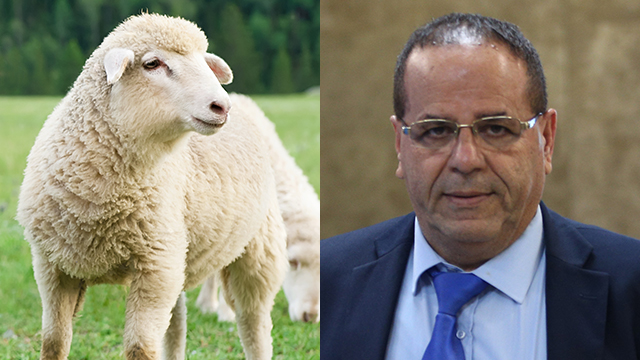 MK Ayoob Kara (R) to celebrate with sheep slaughter (Photos: Shutterstock, Amit Shabi) (Photos: Shutterstock, Amit Shabi)