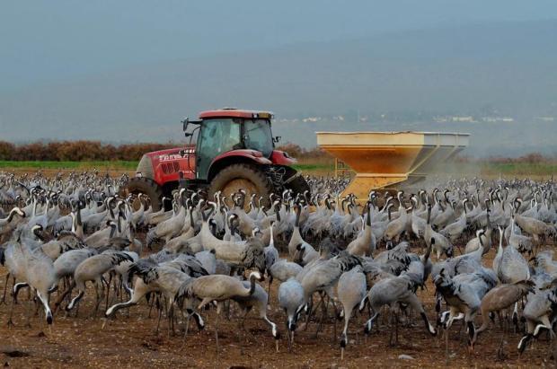 Кукурузу рассыпают с тележек. Фото: Узи Паз