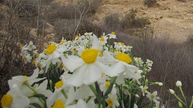 Нарциссы около ручья Масад. Фото: Юваль Галь-Ям