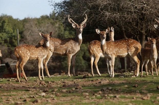 Лес оленей Фото: Сиван Фарадж