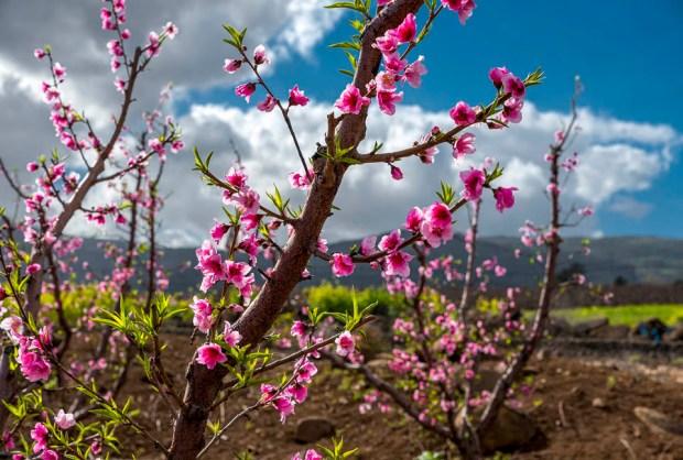 Цветение персика на Голанах