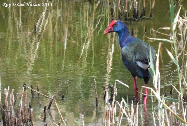 Болотная птица в парке Йерухама. Фото: Рои Исраэль Хазан