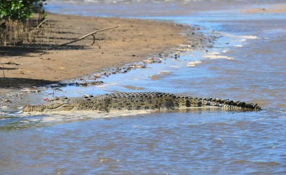 Sea crocodile